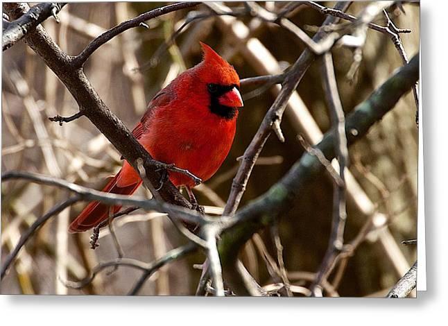 Northern Cardinal Photo Greeting Cards - Northern Cardinal male Greeting Card by Dan Ferrin
