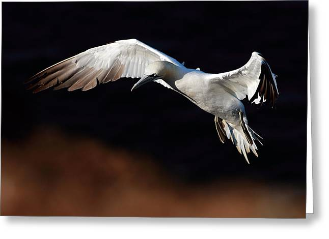 Large Birds Greeting Cards - Northern Gannet Greeting Card by Grant Glendinning