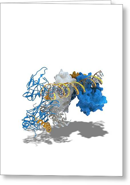 Promoters Greeting Cards - Notch transcription, molecular model Greeting Card by Science Photo Library