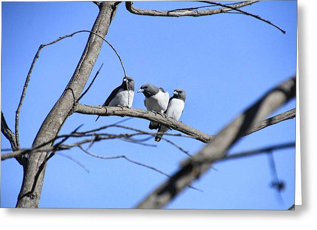 Swallow Photographs Greeting Cards - 3 of a Kind Greeting Card by Douglas Barnard