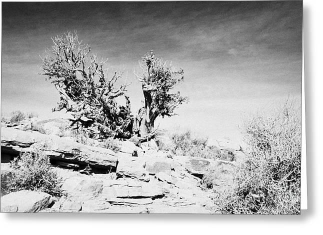 Guano Greeting Cards - old knarled tree bush at guano point Grand Canyon west arizona usa Greeting Card by Joe Fox