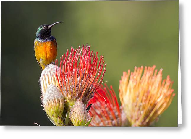 Violate Greeting Cards - Orange-breasted Sunbird Greeting Card by Jean-Luc Baron