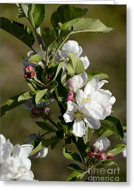 Freshness Photographs Greeting Cards - Orchard  blooming apple trees. Greeting Card by Bernard Jaubert