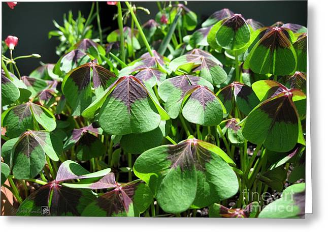 Floral Digital Art Greeting Cards - Oxalis Deppei named Iron Cross Greeting Card by J McCombie
