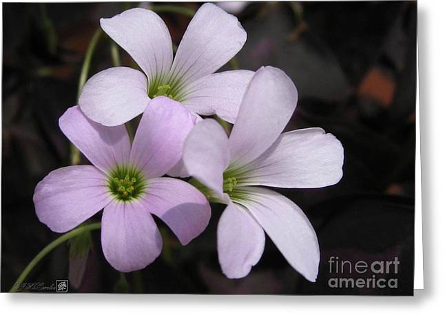 False-colour Greeting Cards - Oxalis Triangularis or Burgundy Shamrock Greeting Card by J McCombie