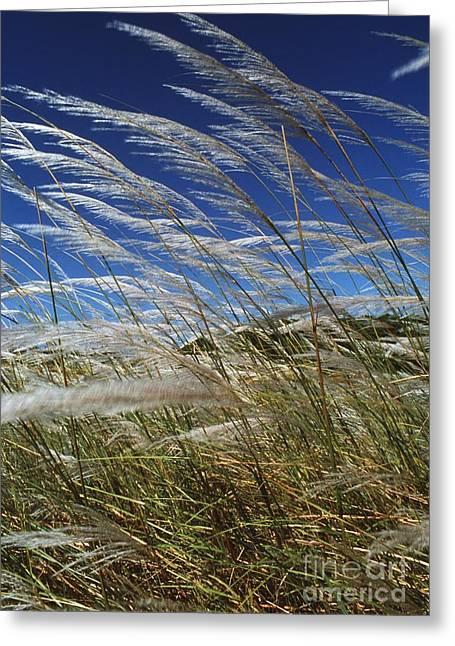 Grenadine Greeting Cards - Pampas Grass Greeting Card by Peter Falkner