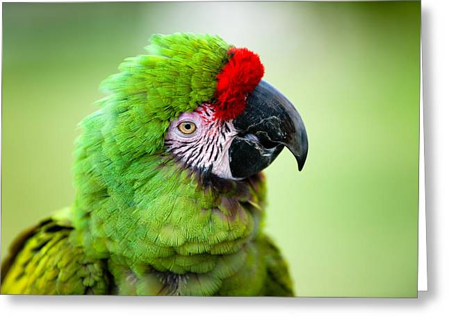 Parrots Greeting Cards - Parrot Greeting Card by Sebastian Musial