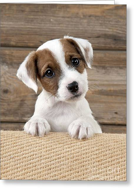 Head Tilt Greeting Cards - Parson Jack Russell Terrier Greeting Card by John Daniels