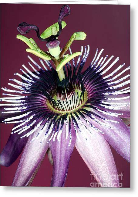 Passiflora Greeting Cards - Passion Flower Passiflora Amethystina Greeting Card by Lawrence Lawry