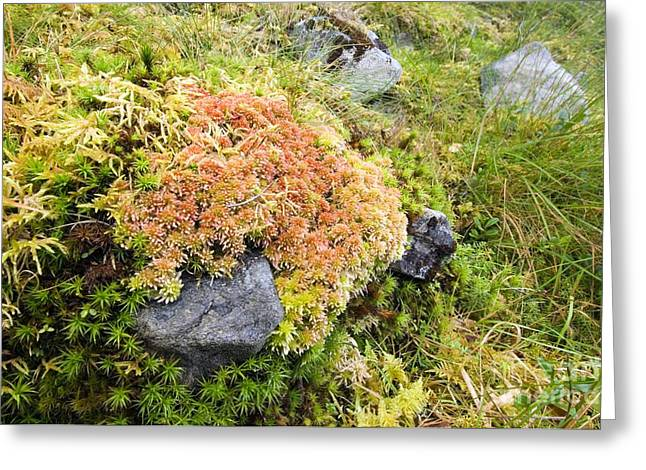 Goldilocks Greeting Cards - Peat Moss Sphagnum Sp Greeting Card by Duncan Shaw