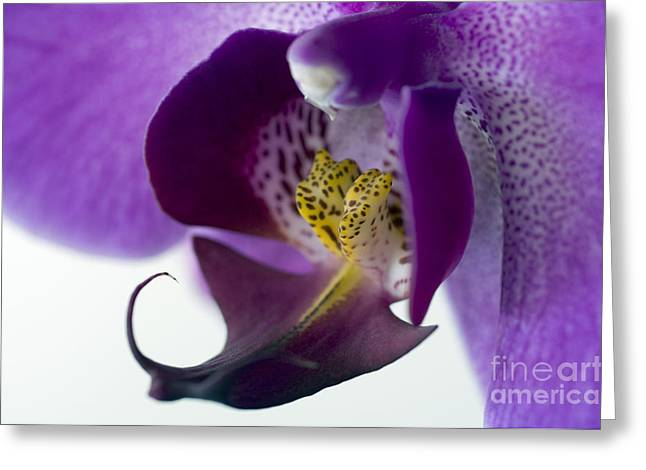 Phalaenopsis Labellum Phalaenopsis Sp Greeting Card by Lawrence Lawry