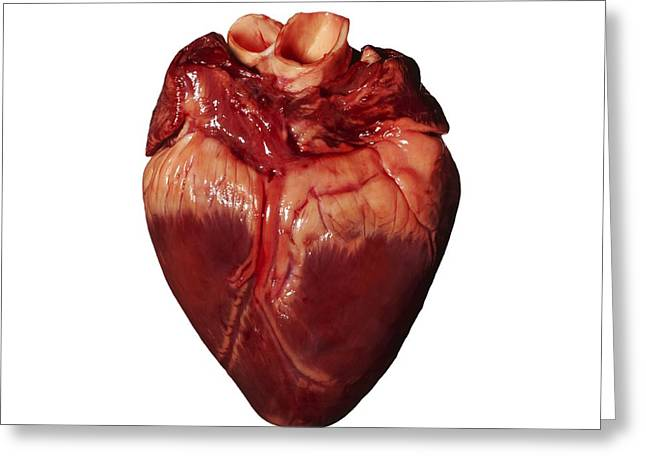 Post-mortem Greeting Cards - Pigs Heart Greeting Card by Kevin Curtis