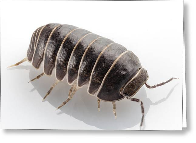 Invertebrates Greeting Cards - Pill-bug Armadillidium vulgare Greeting Card by Pablo Romero