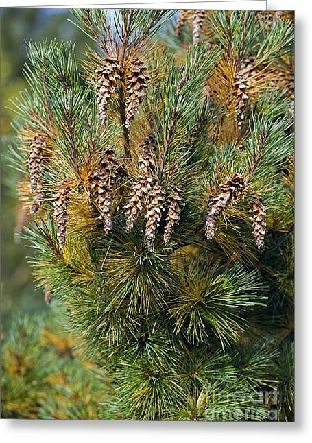 Pine Cones Greeting Cards - Pine Pinus Sp Greeting Card by Dr. Keith Wheeler