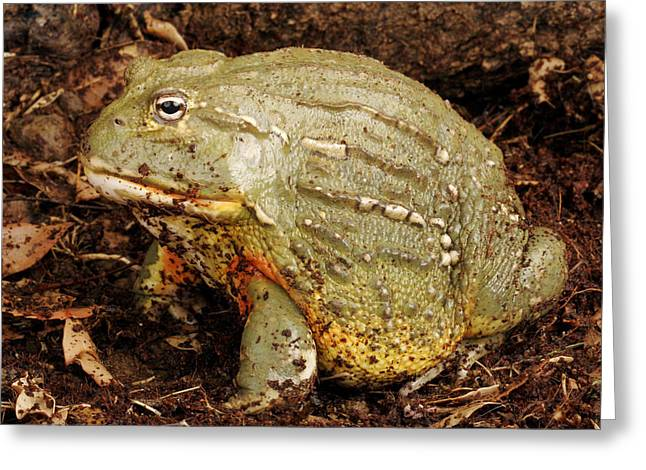 Big Belly Greeting Cards - Pixie Frog. Greeting Card by John Bell