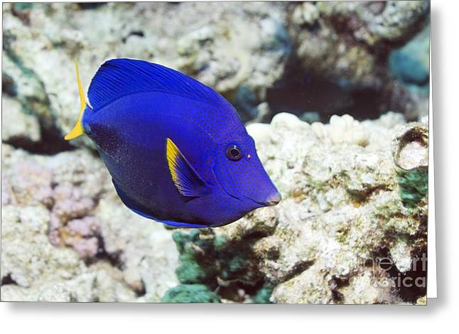 Reef Fish Greeting Cards - Powder-blue Tang Greeting Card by Georgette Douwma