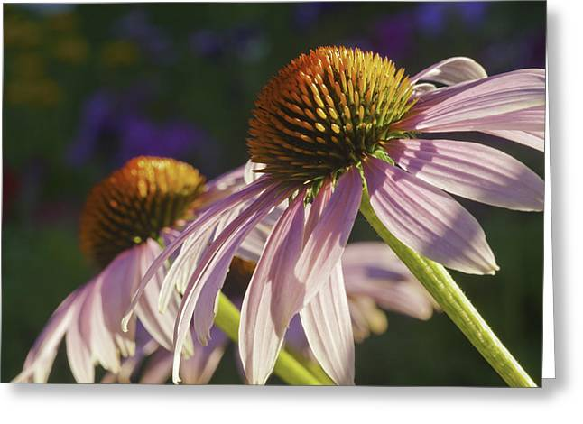 Stamen Greeting Cards - Purple Cone Flower Echinacea Greeting Card by Keith Webber Jr