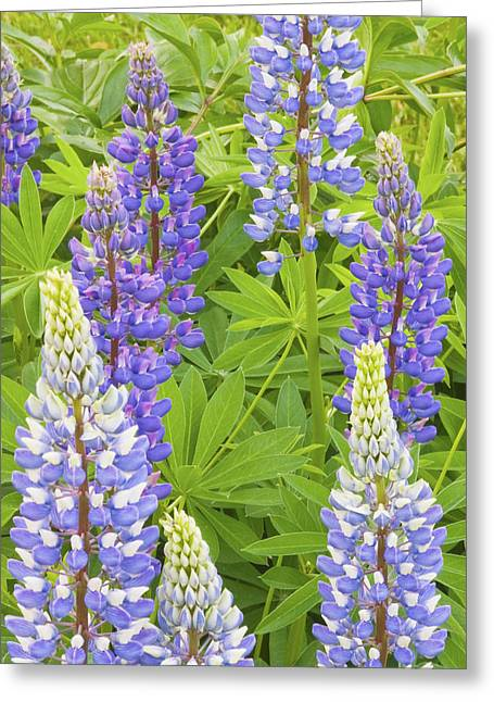 Spring In Maine Photographs Greeting Cards - Purple Lupine Flowers Greeting Card by Keith Webber Jr