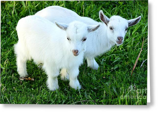 Webster County Greeting Cards - Pygmy Goat Twins Greeting Card by Thomas R Fletcher