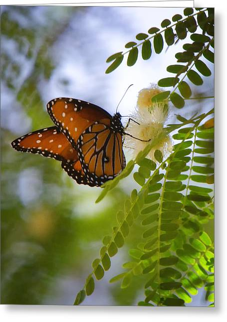 Queen Butterfly Greeting Cards - Queen Butterfly Greeting Card by Saija  Lehtonen