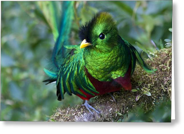 Bird Of Paradise Greeting Cards - Quetzal Greeting Card by Heiko Koehrer-Wagner
