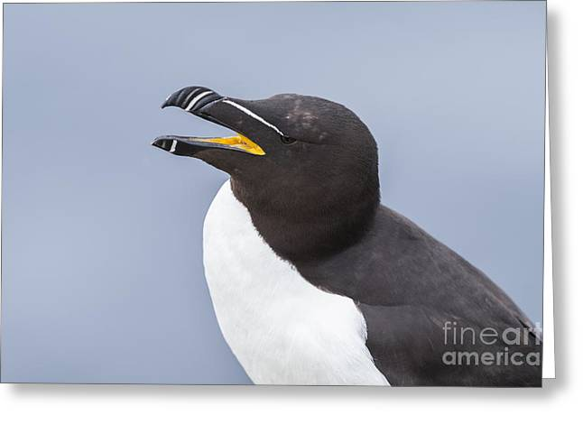 Razorbill Greeting Card by John Shaw