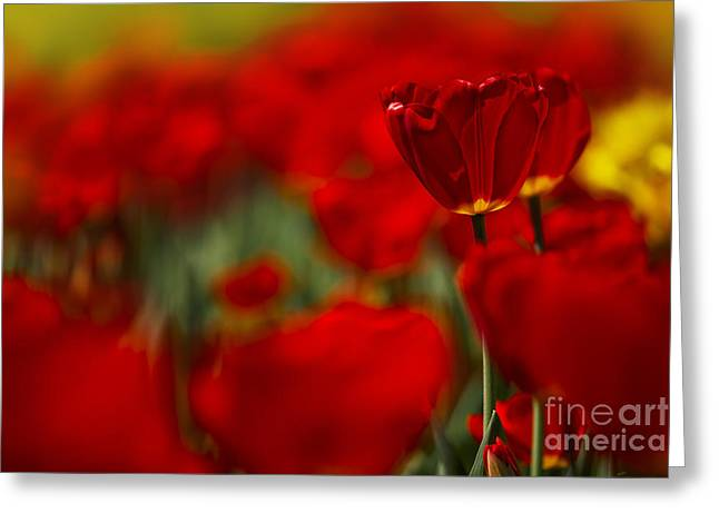 Tulipa Greeting Cards - Red and Yellow Tulips Greeting Card by Nailia Schwarz