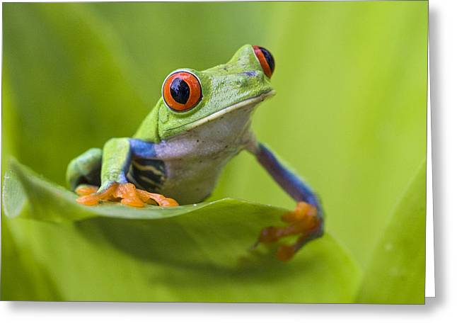 Red Eyed Leaf Frog Greeting Cards - Red-eyed Tree Frog Costa Rica Greeting Card by Suzi  Eszterhas