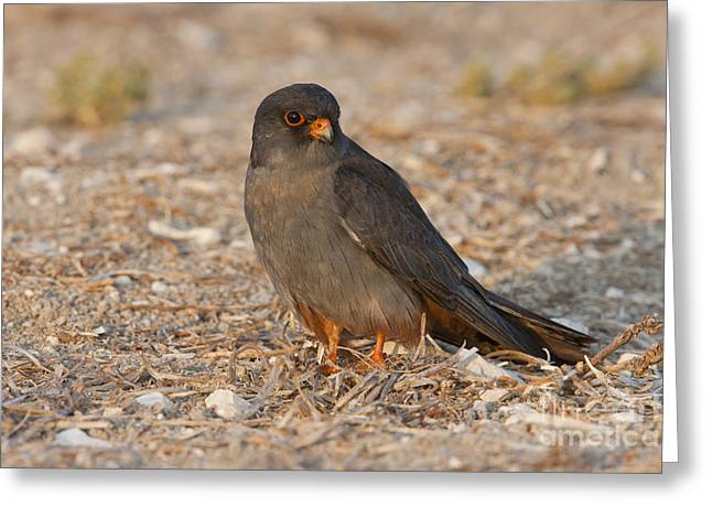 Red Falcon Greeting Cards - Red footed falcon falco vespertinus Greeting Card by Eyal Bartov