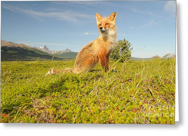 Red Fox Pup Greeting Cards - Red Fox Pup Greeting Card by William H. Mullins