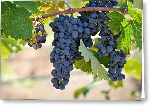 Pinot Noir Greeting Cards - Red Grapes on the Vine Greeting Card by Brandon Bourdages