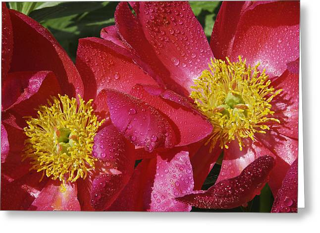 Burgundy Greeting Cards - Red Peony Flower Greeting Card by Keith Webber Jr