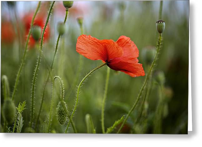 Grow Greeting Cards - Red Poppy Flowers Greeting Card by Nailia Schwarz