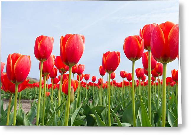 Green Day Greeting Cards - Red Tulips Greeting Card by Hans Engbers