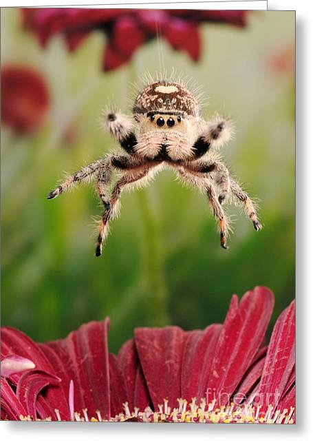 Flowers On Head Greeting Cards - Regal Jumping Spider Jumping Greeting Card by Scott Linstead