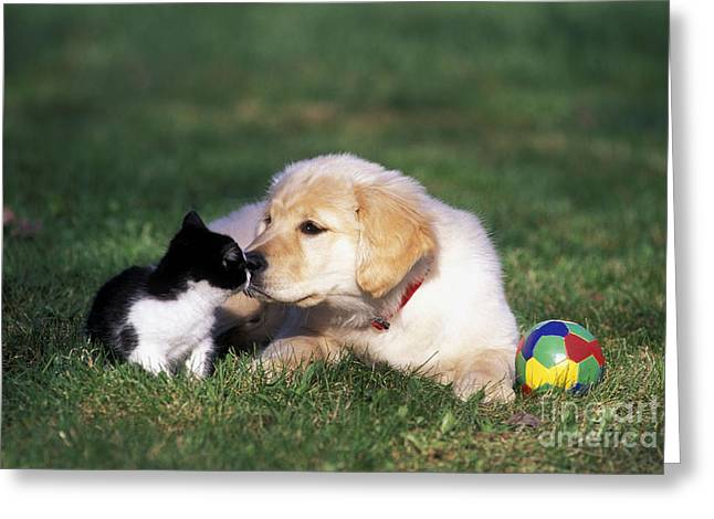 Golden Retriever Playing Ball Greeting Cards - Retriever Puppy & Kitten Greeting Card by Rolf Kopfle