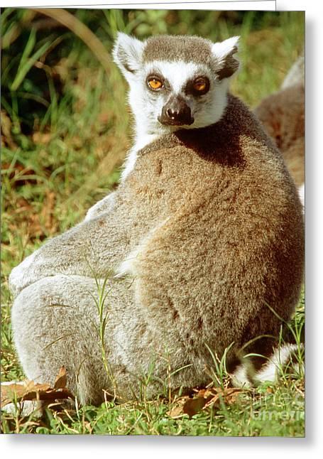 Lemur Catta Greeting Cards - Ring-tailed Lemur Lemur Catta Greeting Card by Millard H. Sharp
