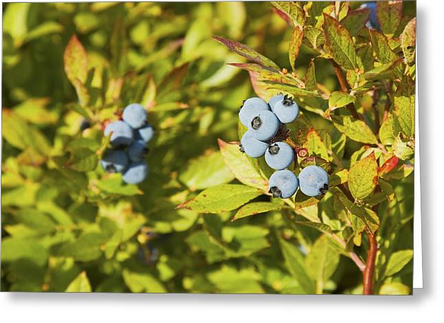 Antioxidant Greeting Cards - Ripe Maine Low Bush Wild Blueberries Greeting Card by Keith Webber Jr