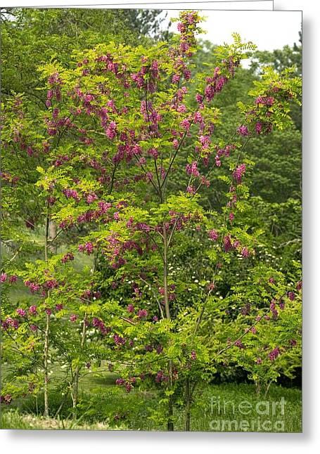 Bristly Rose Greeting Cards - Rose Acacia Robinia Hispida Greeting Card by Bob Gibbons