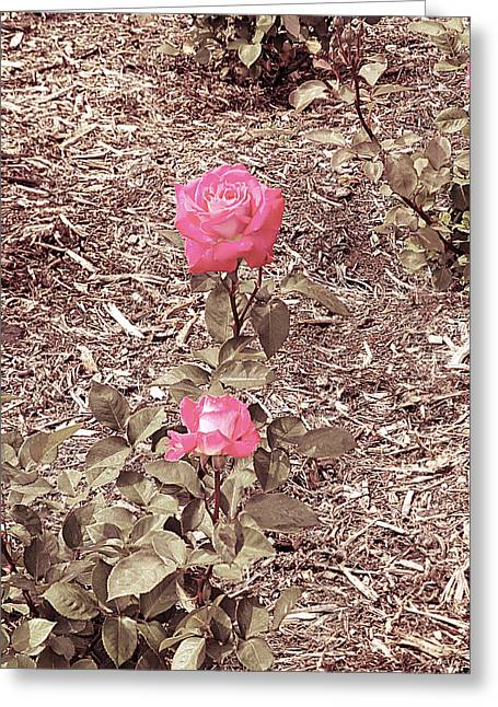 Floral Digital Digital Pyrography Greeting Cards - Roses Greeting Card by Girish J