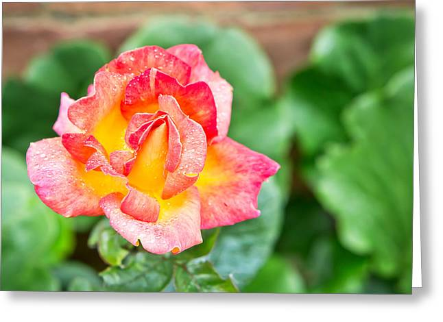 Ornate Frame Greeting Cards - Rose Greeting Card by Tom Gowanlock