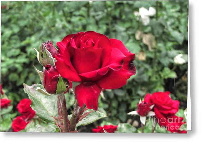 Forest Pyrography Greeting Cards - Rose Greeting Card by Yury Bashkin
