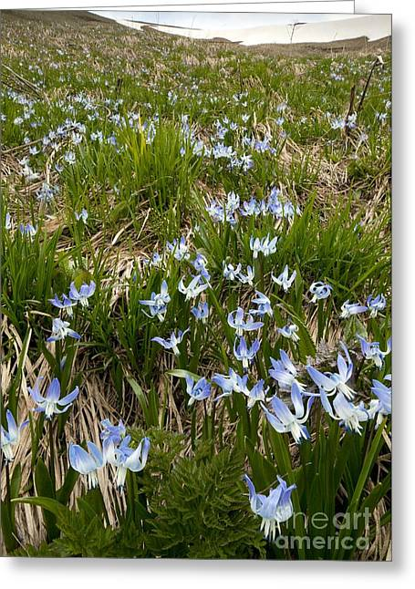 Ss Unites States Greeting Cards - Rosens Squill Scilla Rosenii Greeting Card by Bob Gibbons