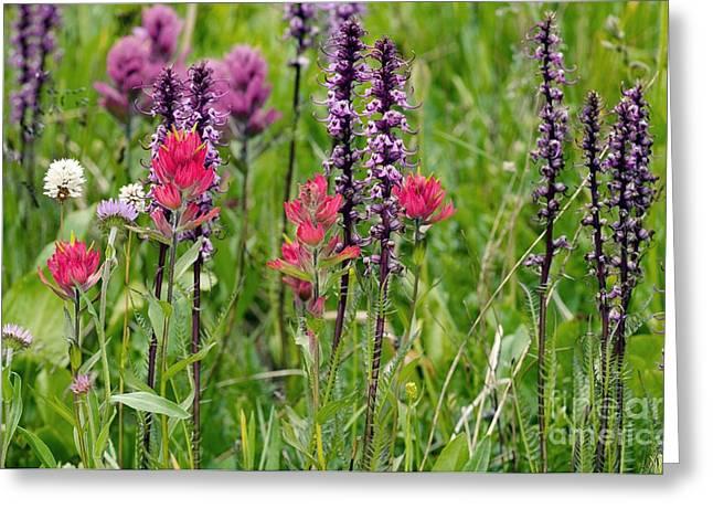 Ss Unites States Greeting Cards - Rosy Paintbrush Castilleja Rhexifolia Greeting Card by Bob Gibbons