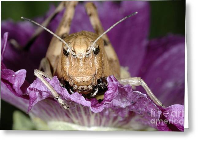 Flowers On Head Greeting Cards - Rufous Grasshopper On A Hollyhock Greeting Card by Chris Hellier