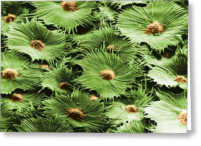 Scanning Electron Micrograph Greeting Cards - Russian Silverberry Leaf Sem Greeting Card by Asa Thoresen