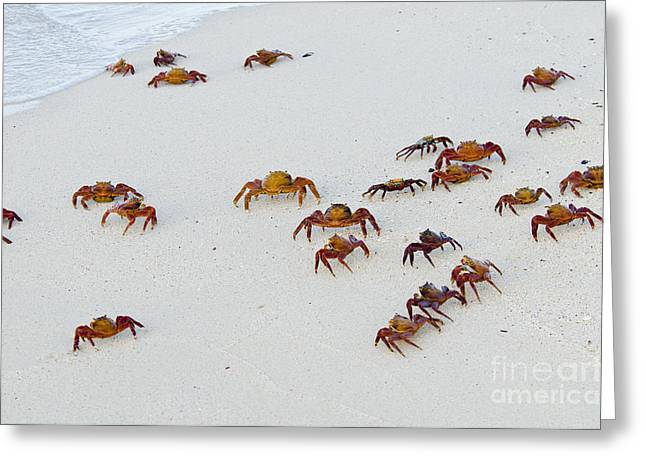 Malacostraca Greeting Cards - Sally Lightfoot Crabs Greeting Card by William H. Mullins