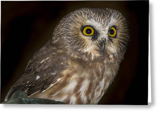 Surprise Greeting Cards - Saw-Whet Greeting Card by Jean Noren