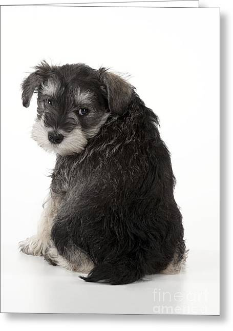 Cute Schnauzer Greeting Cards - Schnauzer Puppy Dog Greeting Card by John Daniels