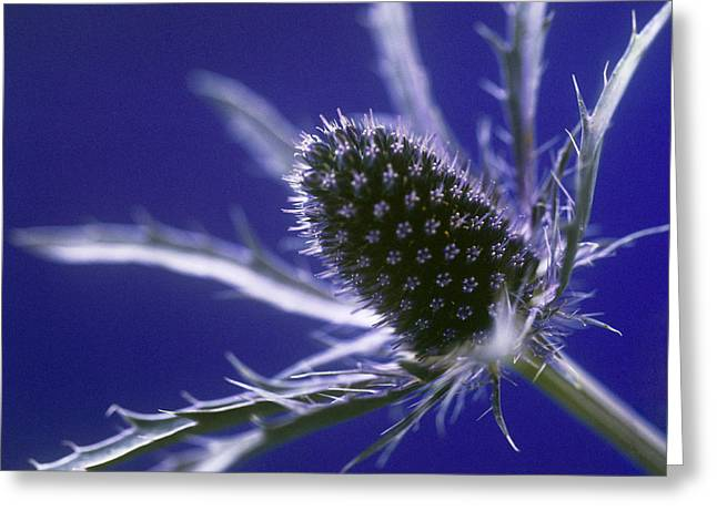 Blue Thistles Greeting Cards - Sea Holly Eryngium Sp Greeting Card by Cristina Pedrazzini